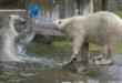 Hellabrunn: Vorstellung der neuen Eisbären-Weibchen-Gruppe